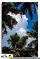 palmiye 00003