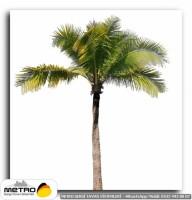 palmiye 00024