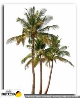 palmiye 00033