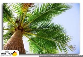 palmiye 00087