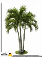 palmiye 00154