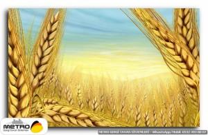 Buğday ve Başak Resimleri