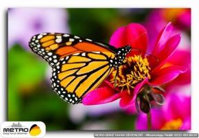 kelebekler 00013