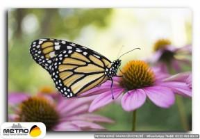 kelebekler 00075